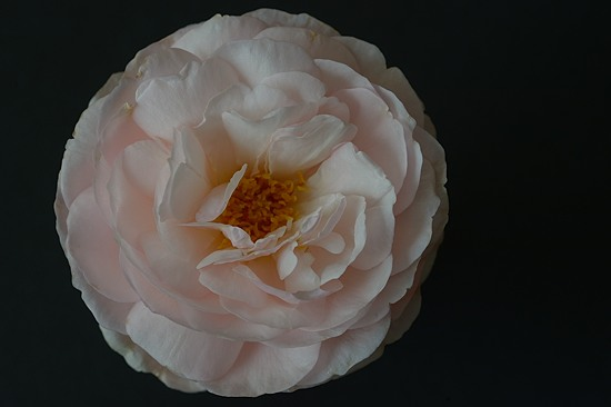 Heritage Rose from my Garden, May 2016